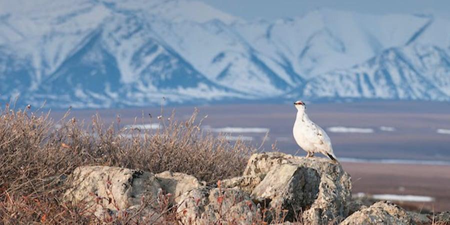 A ptarmigan in the Arctic