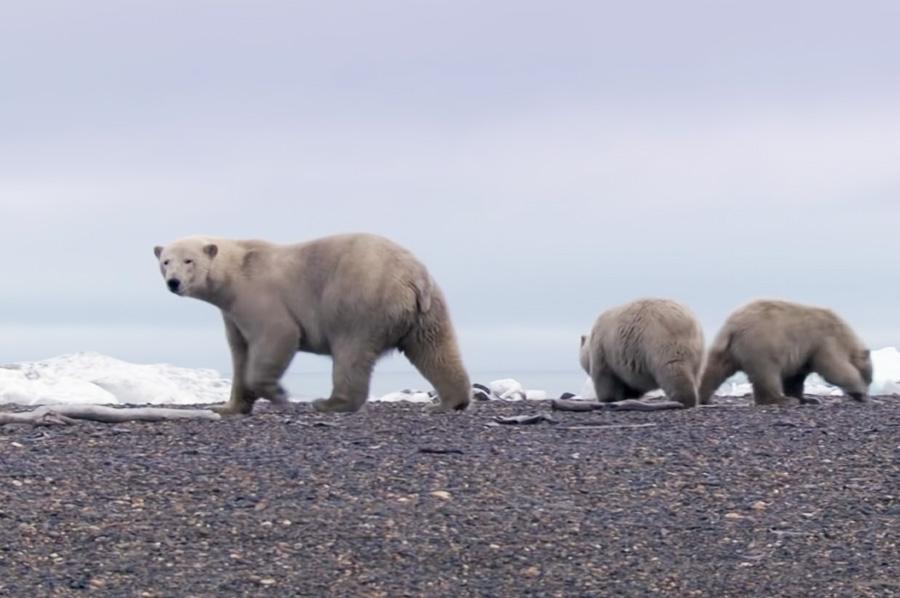 Polar Bear Stands Her Ground