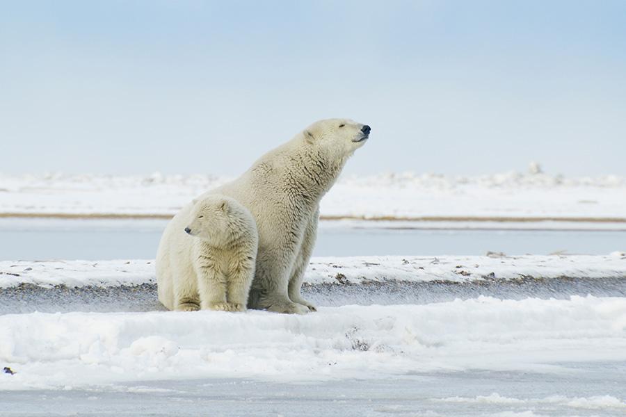 Polar bears_1