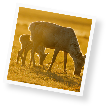 protect-the-arctic-caribou-image