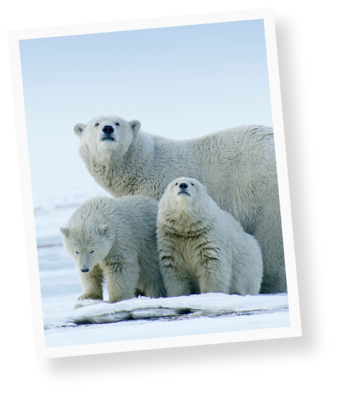 protect-the-arctic-img-polabears